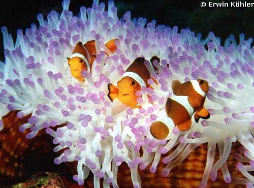 Amphiprion_ocellaris.jpg