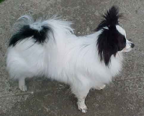 papillon_01_puppies_for_sale.jpg